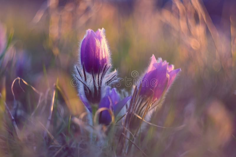 белизна весны пущи цветка Природа с лугом и заходом солнца Сезонная концепция на весеннее время Красиво blossoming цветок и солнц стоковые фото