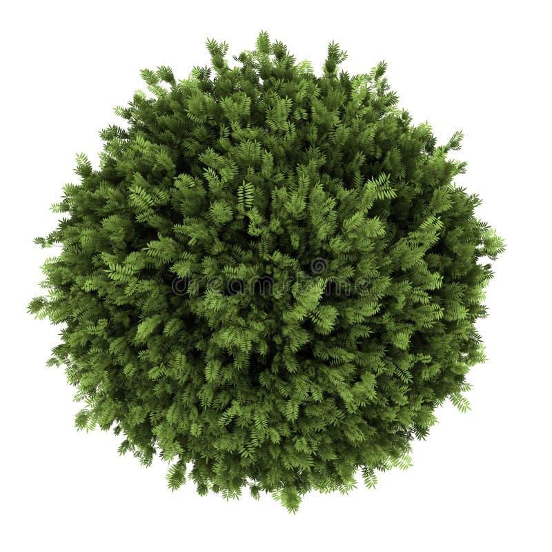 белизна взгляда сверху bush изолированная elderberry стоковые фото