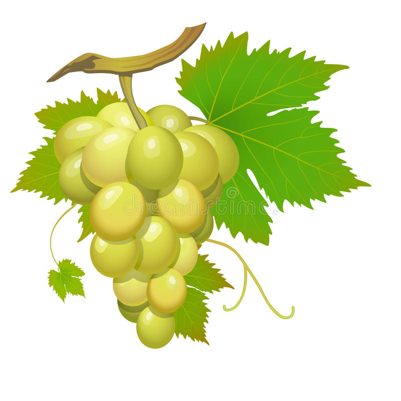 белизна виноградины иллюстрация штока
