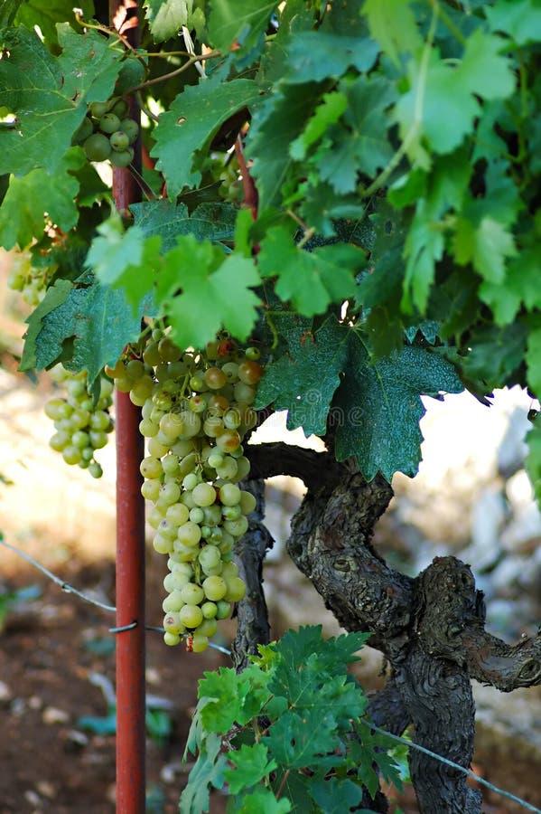 белизна виноградины стоковое изображение