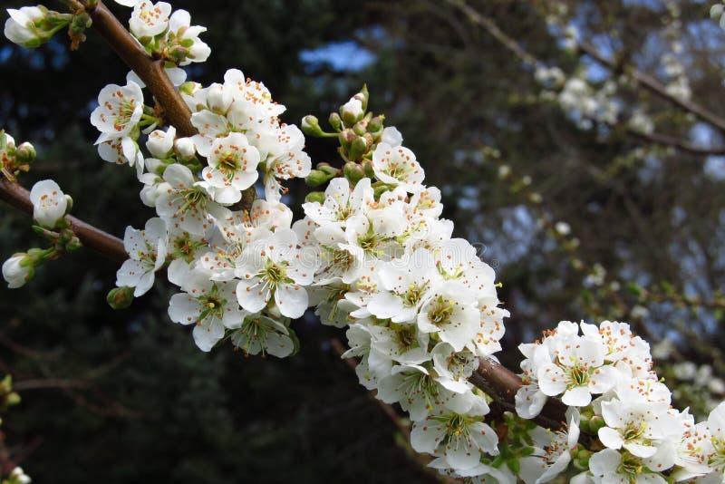 белизна вишни цветения стоковое фото