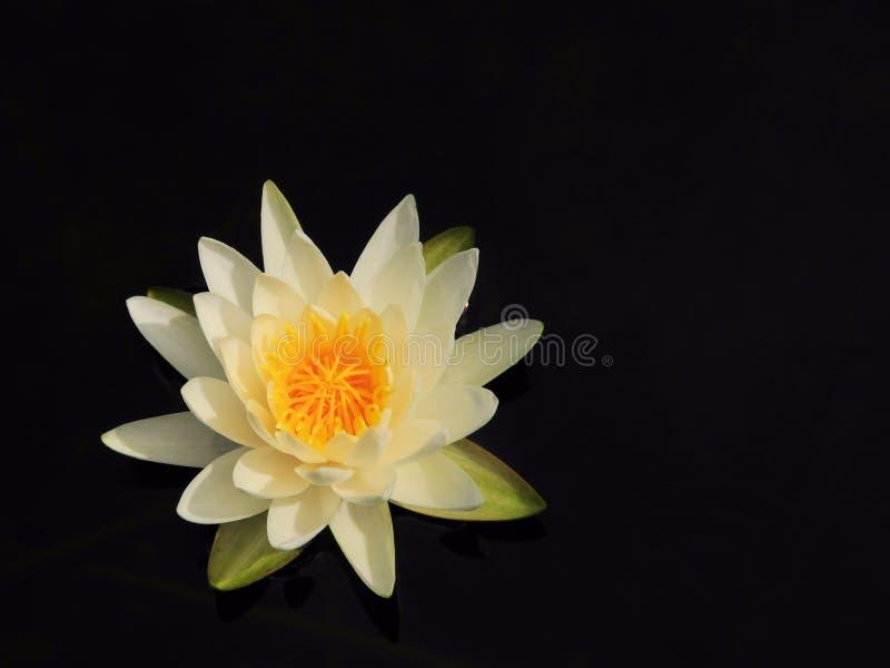 белизна воды лилии Стоковое Изображение