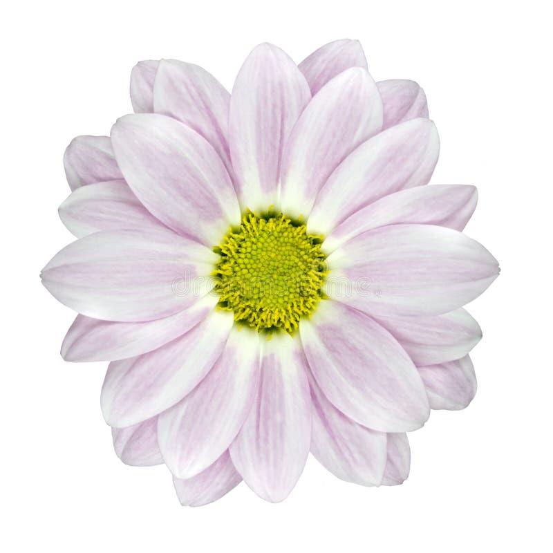 белизна георгина изолированная цветком розовая одиночная стоковые изображения