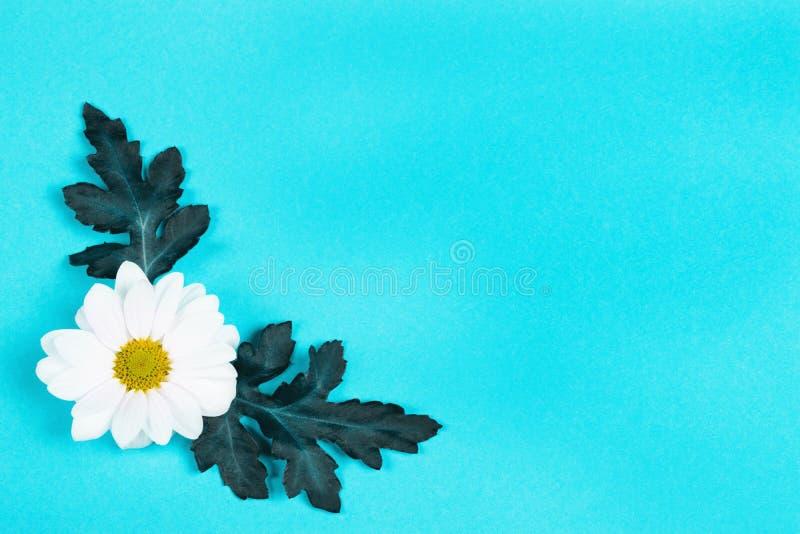 белизна голубой маргаритки предпосылки стоковые изображения rf