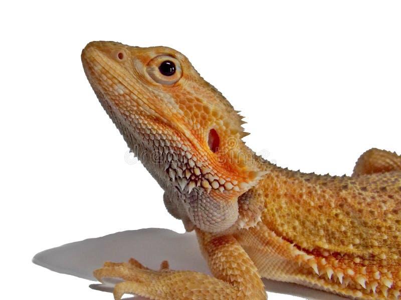 белизна дракона предпосылки бородатая стоковое изображение rf