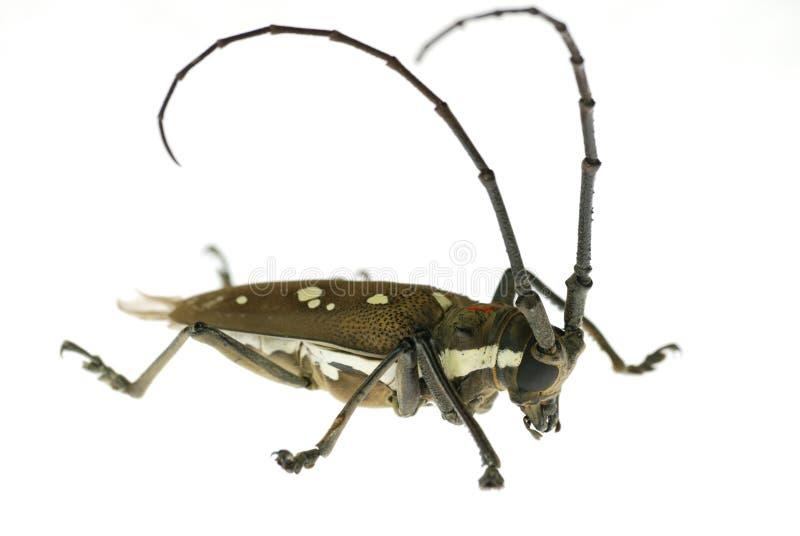 белизна жука horned длинняя стоковые фотографии rf