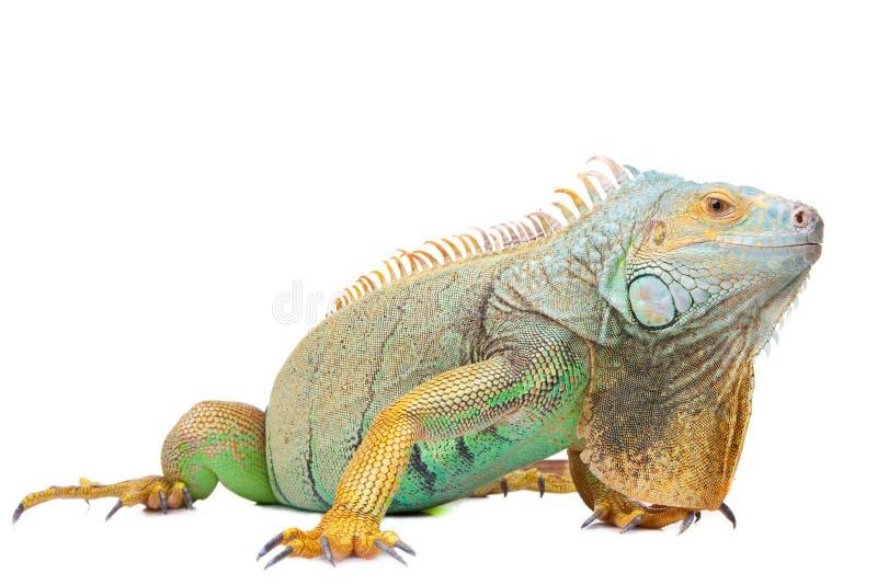 белизна изолированная игуаной стоковое изображение rf