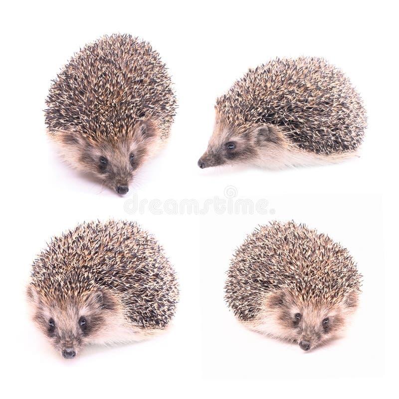 белизна изолированная hedgehog стоковые фото