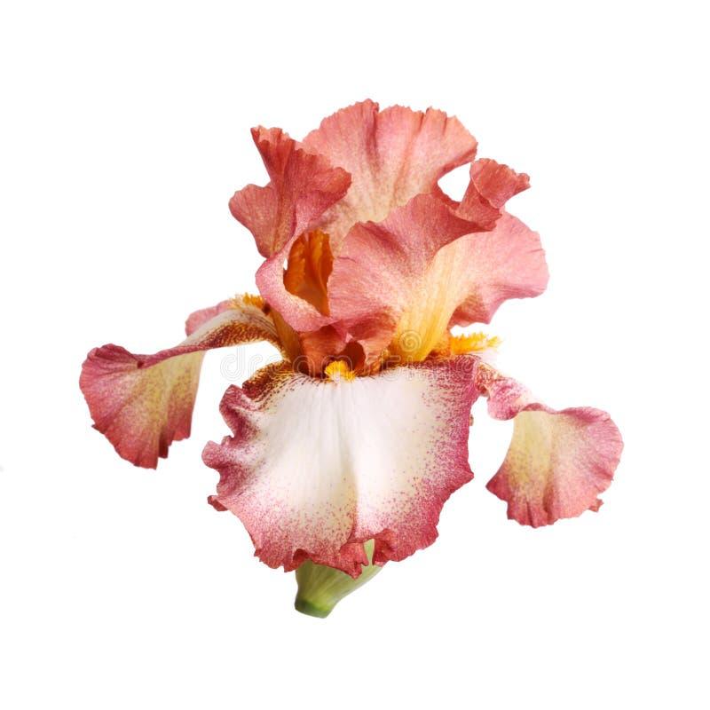 белизна изоляции радужки цветка burgundy стоковые фотографии rf