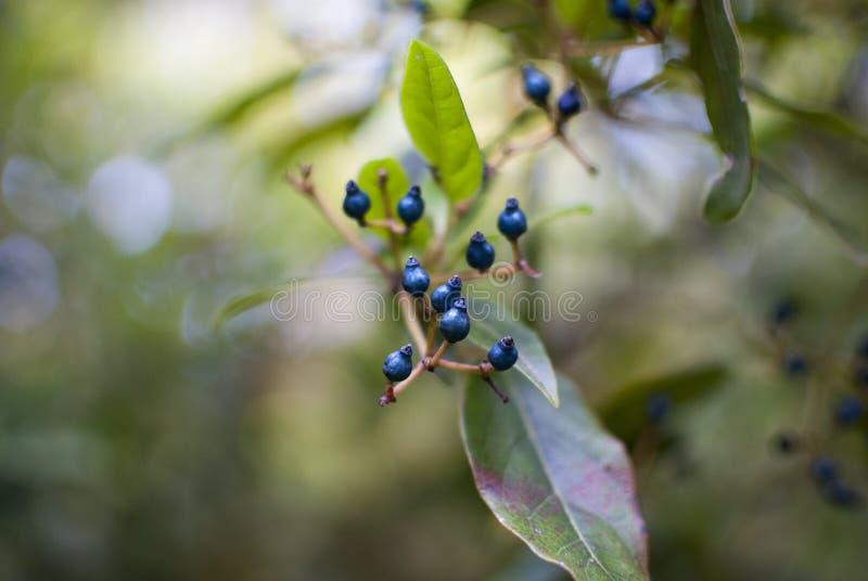 белизна изоляции ягоды голубая стоковое изображение