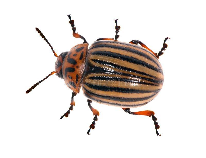 белизна картошки жука изолированная colorado стоковое изображение