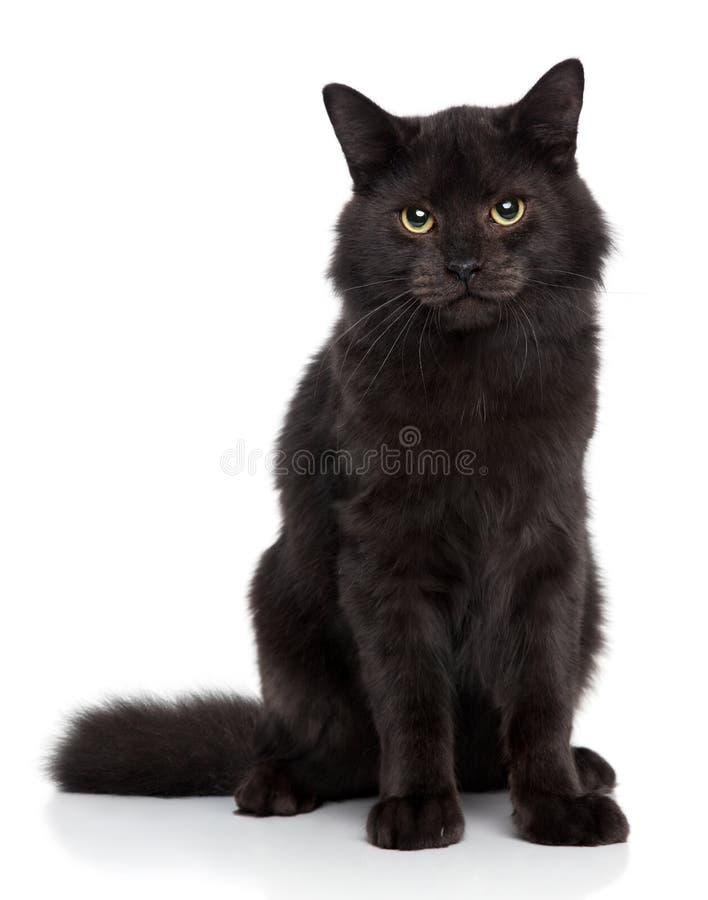 белизна кота предпосылки siberian стоковое фото rf
