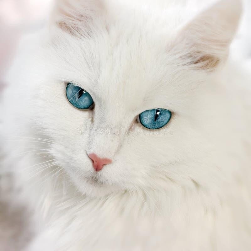 белизна кота