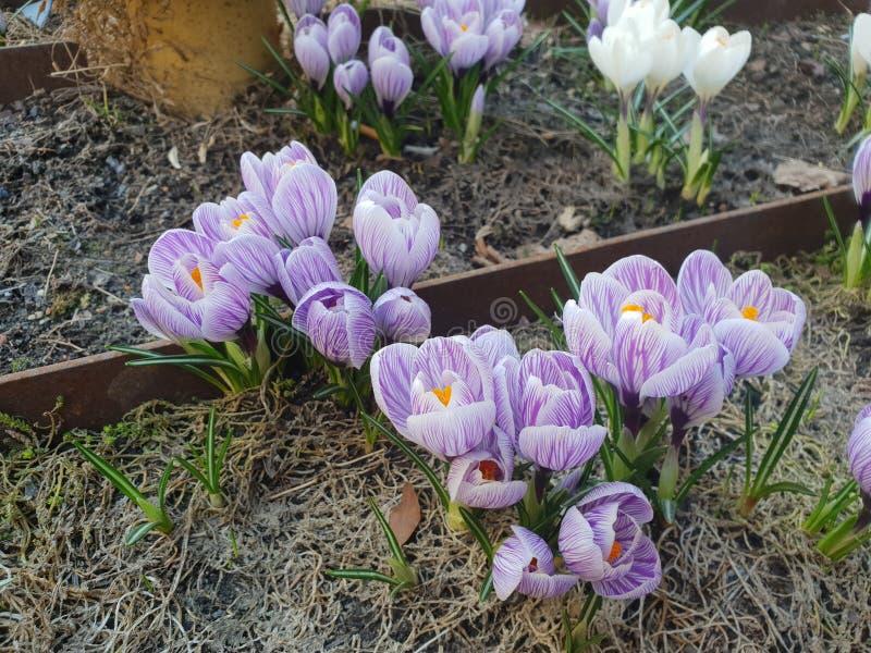 белизна крокусов пурпуровая стоковая фотография rf
