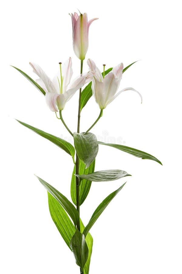 белизна лилии стоковое изображение rf