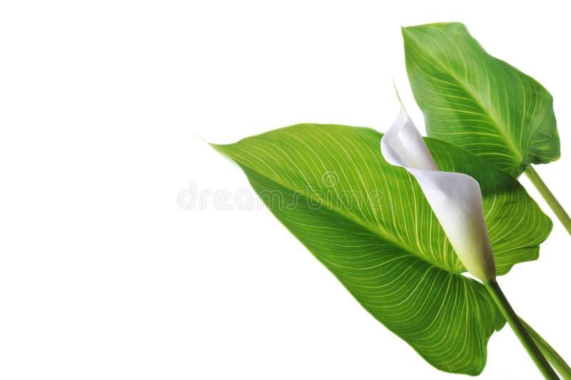 белизна лилии calla стоковые фотографии rf