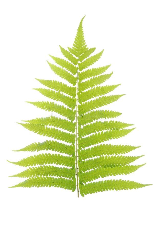 белизна листьев предпосылки изолированная зеленым цветом стоковые изображения rf