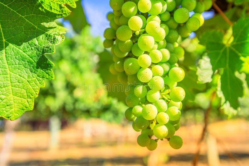 белизна лозы путя виноградин клиппирования изолированная изображением стоковые изображения rf