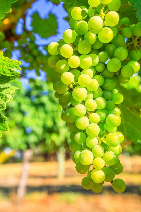 белизна лозы путя виноградин клиппирования изолированная изображением стоковые изображения