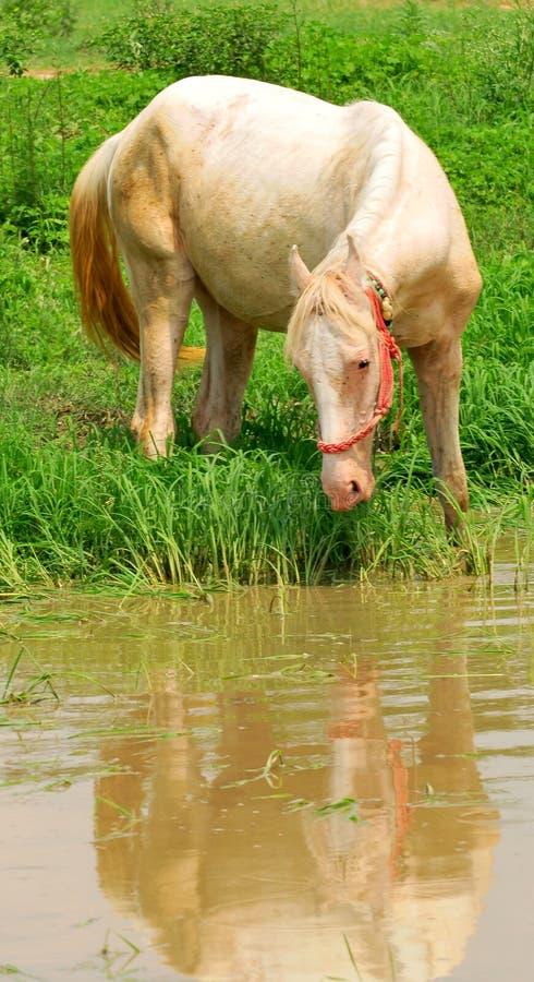белизна лошади испытывающий жажду стоковые изображения rf