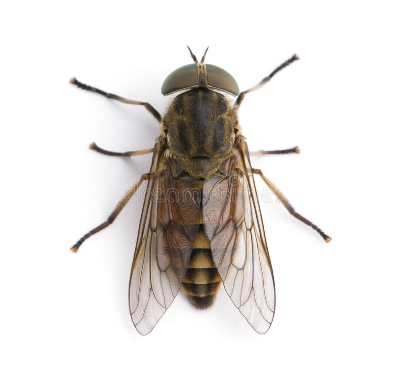 белизна лошади фронта мухы предпосылки гигантская стоковое фото rf