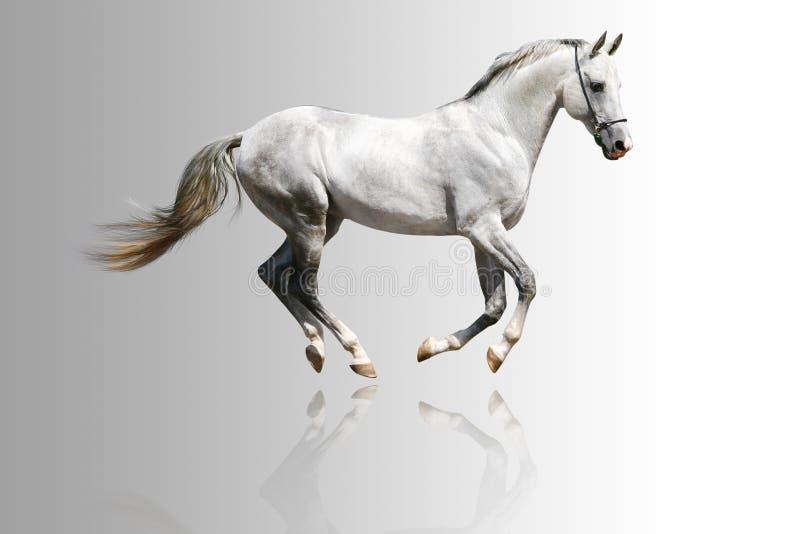 белизна лошади стоковая фотография rf