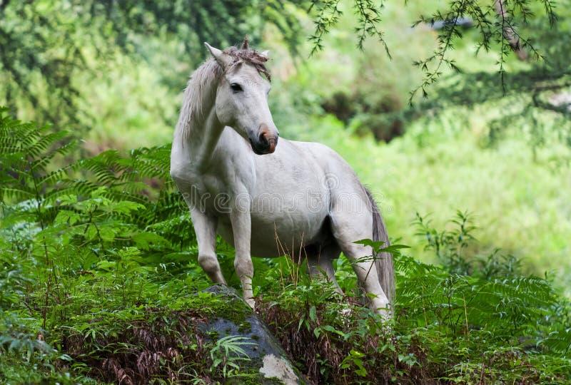 белизна лошади стоковые изображения rf