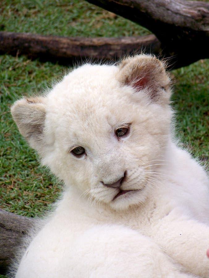 белизна льва новичка стоковые изображения rf