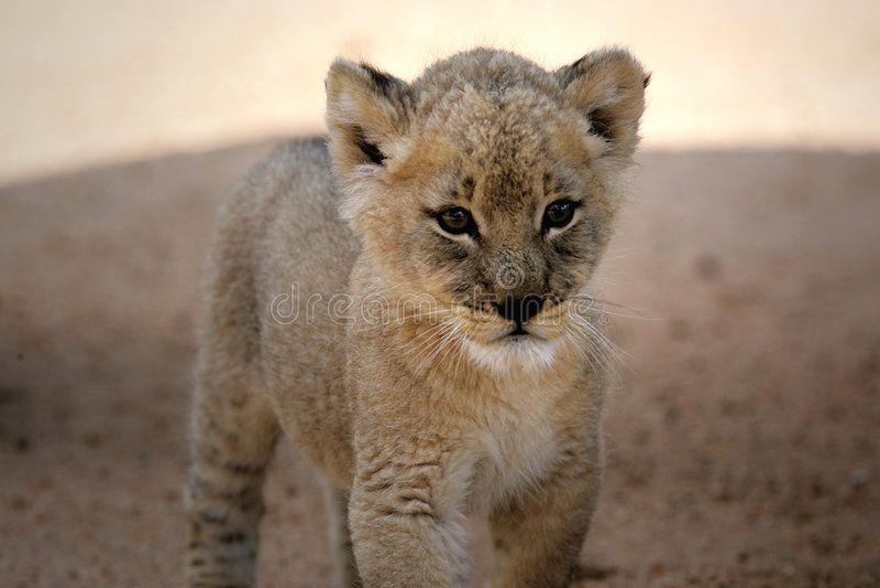 белизна льва новичка стоковые фотографии rf