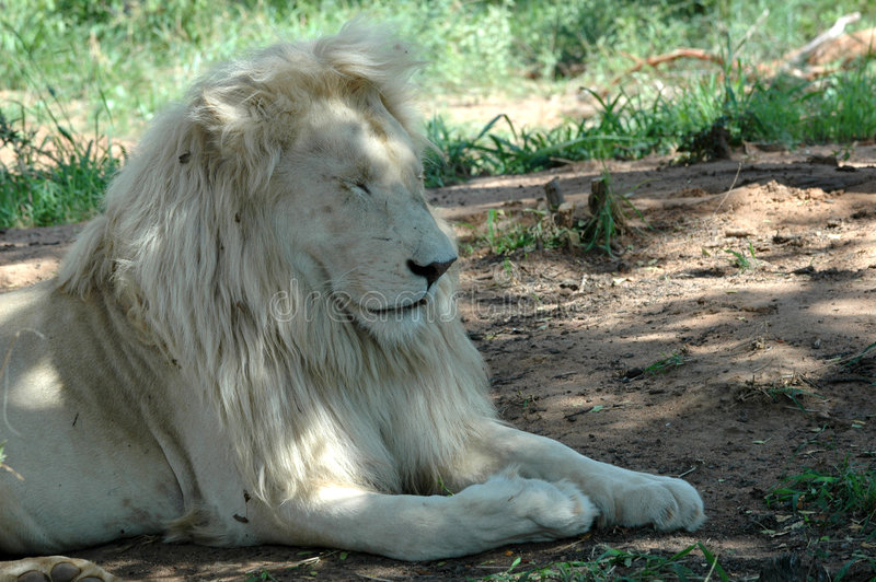 Download белизна льва стоковое фото. изображение насчитывающей новички - 483618