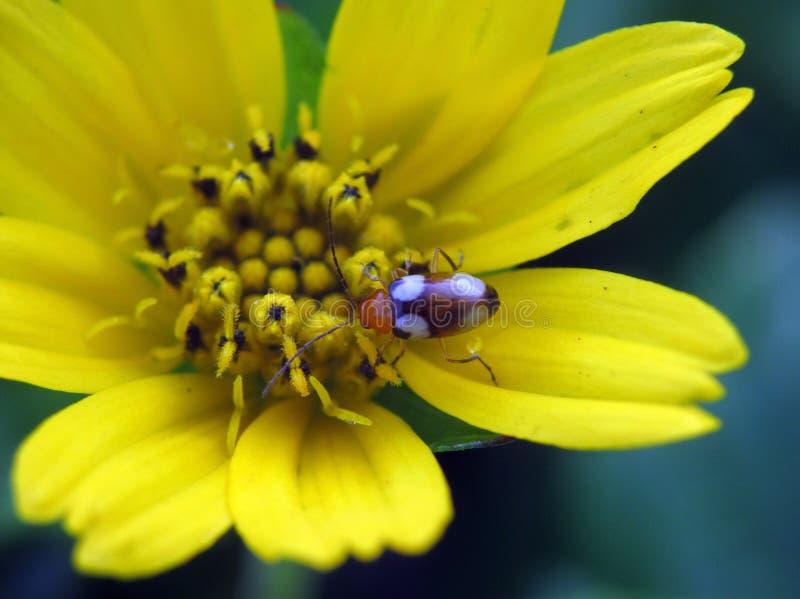 Белизна любить жук на цветке семьи маргаритки стоковые изображения