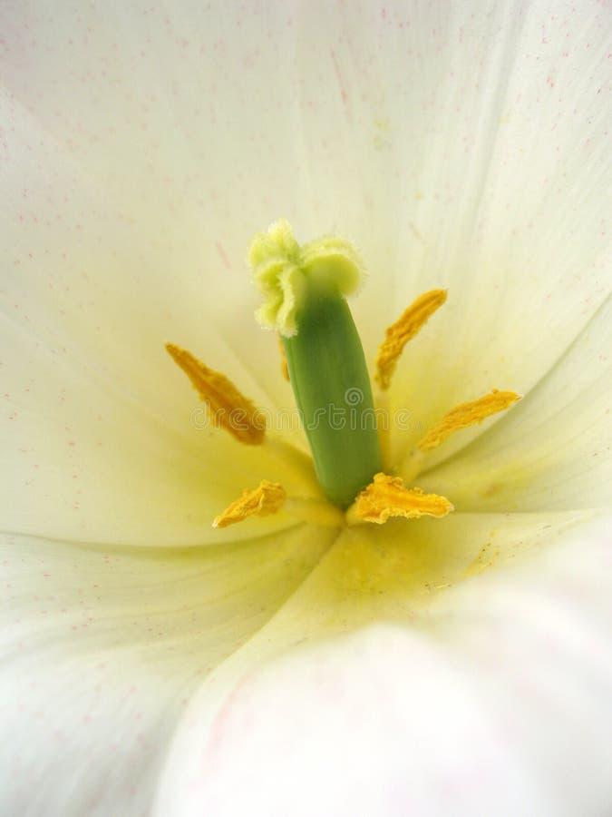 белизна макроса цветка цветеня стоковое изображение rf