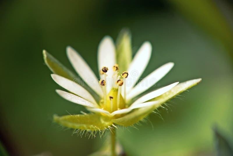белизна макроса цветка стоковое изображение