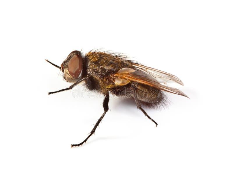 белизна мухы домашняя стоковые фото