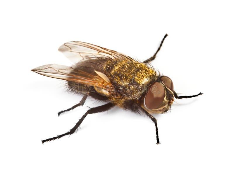белизна мухы домашняя стоковое фото