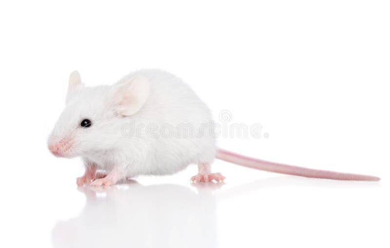 белизна мыши предпосылки стоковые изображения