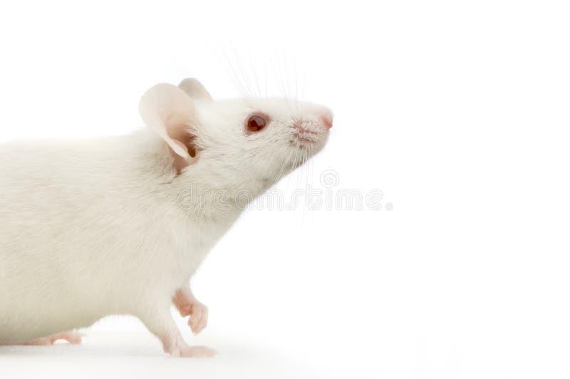 белизна мыши стоковые изображения