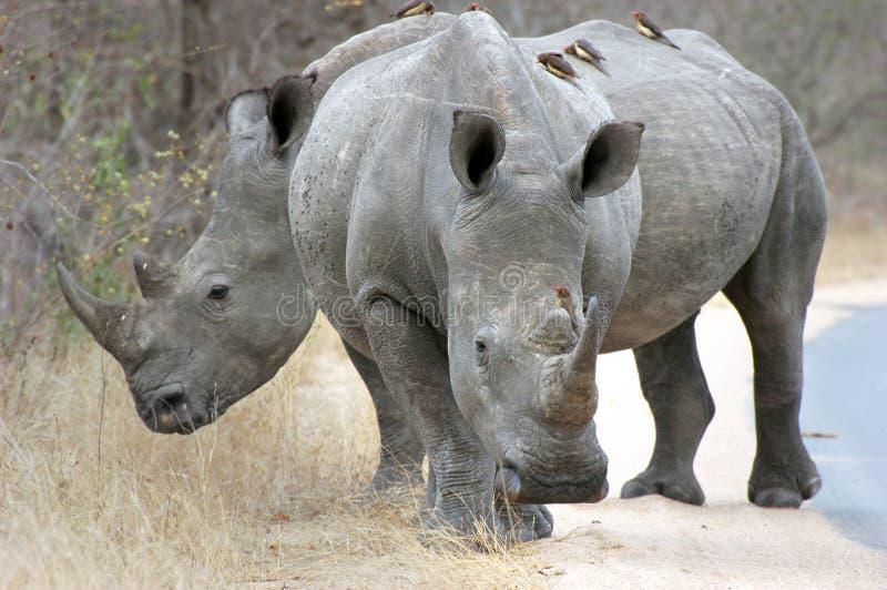 белизна носорога стоковое фото