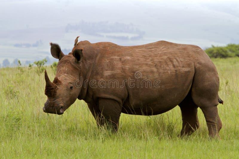 белизна носорога стоковое изображение