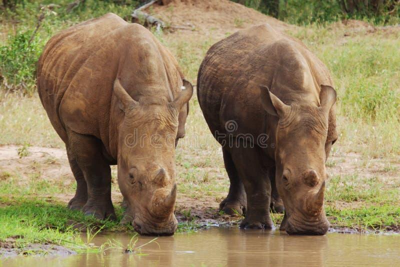 белизна носорога s стоковая фотография rf