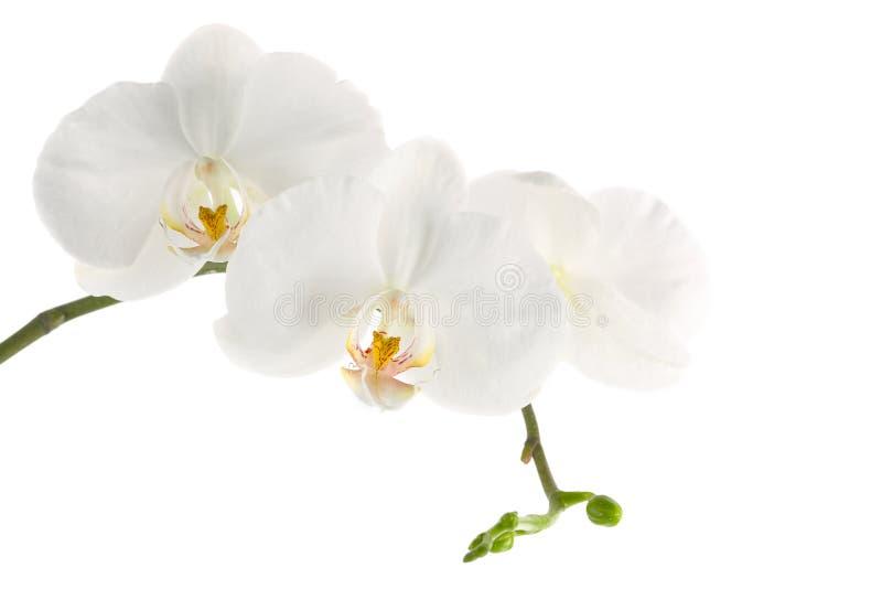 белизна орхидеи ветви стоковое фото