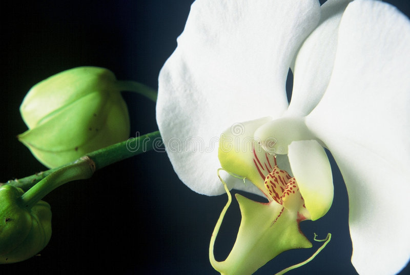 белизна орхидеи Стоковая Фотография RF