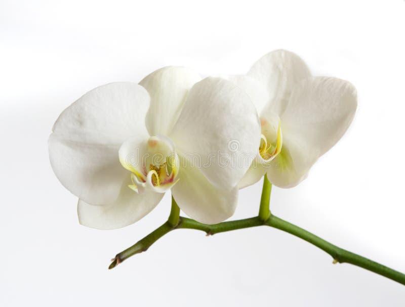 белизна орхидеи стоковые фотографии rf