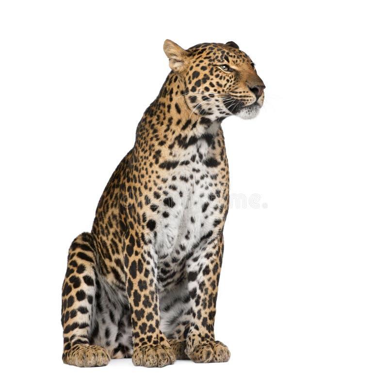 белизна переднего леопарда предпосылки сидя стоковая фотография