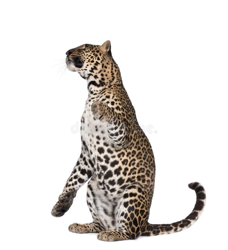 белизна переднего леопарда предпосылки сидя стоковые фото