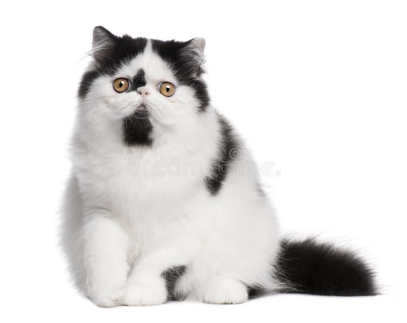 белизна персиянки черного кота сидя стоковое фото