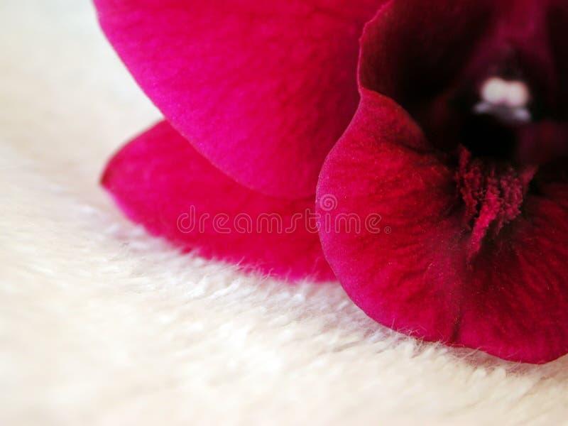 Download белизна пинка орхидеи 2 шерстей Стоковое Изображение - изображение насчитывающей гибрид, ботаническую: 491841