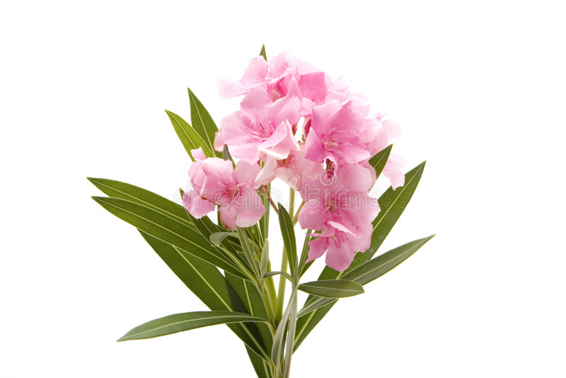 белизна пинка oleander цветка стоковое фото