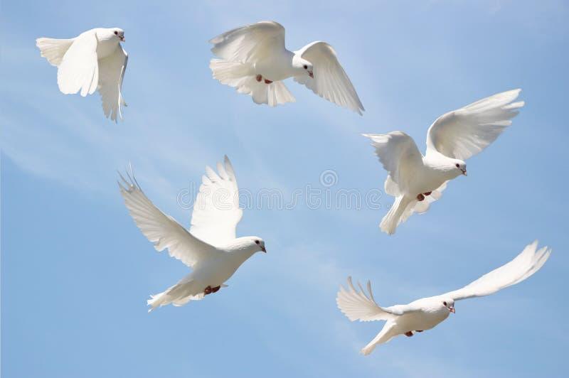 белизна полета dove стоковые изображения rf