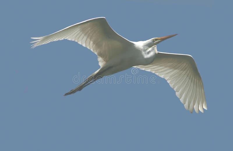 белизна полета egret большая стоковое изображение rf